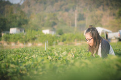 Beautiful Asian Girl sit and looking strawberry on Farm Strawberry Royalty Free Stock Images
