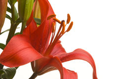 Beautiful Asiatic Lily Bloom Royalty Free Stock Photos