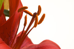 Beautiful Asiatic Lily Bloom Stock Photo