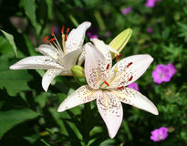 Beautiful Asiatic Lily Flowers Stock Image