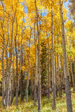 Beautiful Aspen Grove in Fall Stock Photo
