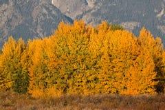 Beautiful Aspen Grove in Fall Stock Photo