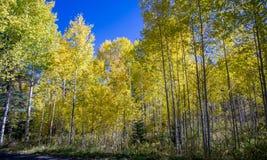 Beautiful Aspen trees during autumn in Utah mountains Stock Images
