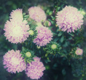 Beautiful aster autumn flowers. Vintage toned photo. Stock Photo