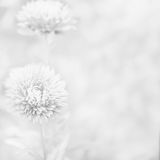 Beautiful aster flower.. Blurred black and white background Royalty Free Stock Image