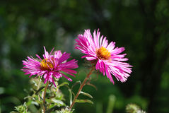 Beautiful aster flower Royalty Free Stock Photo