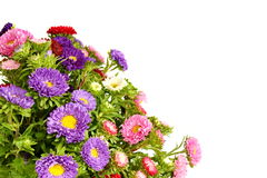 Beautiful aster flower Stock Images