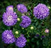 Beautiful aster flowers on fall garden Stock Photo