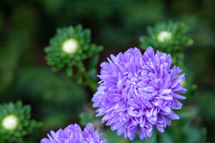 Beautiful aster flowers on fall garden Royalty Free Stock Images