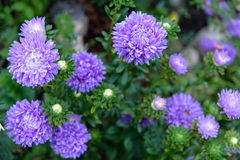 Beautiful aster flowers on fall garden Stock Photo