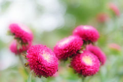 Beautiful aster flowers on fall garden Stock Photography