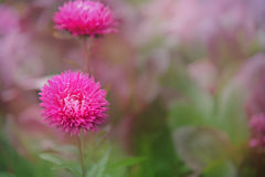 Beautiful aster flowers on fall garden. Nature blur background. Stock Image
