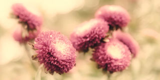 Beautiful aster flowers on fall garden Royalty Free Stock Image
