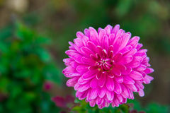 Beautiful aster. Aster on the green background Royalty Free Stock Image