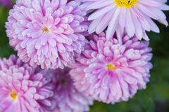 Beautiful aster Stock Photography