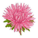 Beautiful aster isolated on white background. Royalty Free Stock Photo