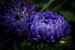 Beautiful asters that can be Stock Photo