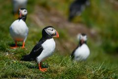 Colorful Atlantic Puffin or Comon Puffin Fratercula Arctica in N. Beautiful Atlantic Puffin or Comon Puffin Fratercula Arctica in Northumberland England on Royalty Free Stock Image