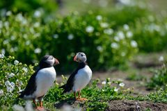 Colorful Atlantic Puffin or Comon Puffin Fratercula Arctica in N. Beautiful Atlantic Puffin or Comon Puffin Fratercula Arctica in Northumberland England on Royalty Free Stock Photo