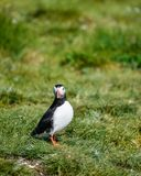 Colorful Atlantic Puffin or Comon Puffin Fratercula Arctica in N. Beautiful Atlantic Puffin or Comon Puffin Fratercula Arctica in Northumberland England on Stock Photo
