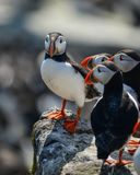 Colorful Atlantic Puffin or Comon Puffin Fratercula Arctica in N. Beautiful Atlantic Puffin or Comon Puffin Fratercula Arctica in Northumberland England on Royalty Free Stock Images