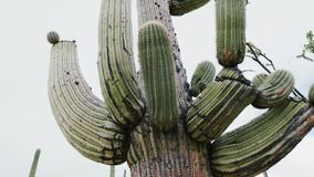 Beautiful atmospheric close-up panning shot of big lush mature Saguaro cactus growing very tall in Arizona desert USA. Low angle view of iconic large plant, an stock footage