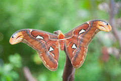 Beautiful Attacus Atlas moth butterfly. Beautiful tropical orange, brown and white moth butterfly named Attacus Atlas, from Saturniidae family, also known as stock image