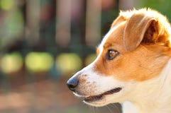 Beautiful attentive Jack Russel pup Stock Photos