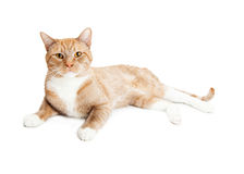 Beautiful Attentive Orange Cat Laying on Side Royalty Free Stock Photos