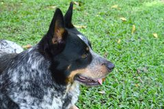 Beautiful Australian Cattle Dog. Male laying on grass Royalty Free Stock Photos