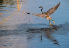 Beautiful Australian Ibis taking off from water on smooth lake stock image