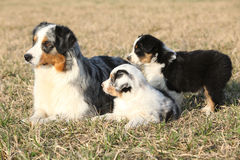 Beautiful Australian Shepherd Dog with its puppies Stock Image