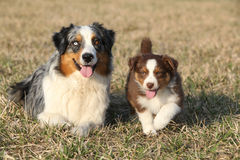 Beautiful Australian Shepherd Dog with its puppy Royalty Free Stock Photo