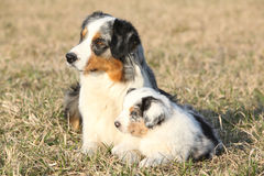 Beautiful Australian Shepherd Dog with its puppy Stock Photography