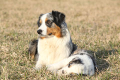 Beautiful Australian Shepherd Dog with its puppy Royalty Free Stock Images
