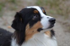 Beautiful Australian Shepherd Dog Profile. Gorgeous Aussie from a side view with a really cute face Stock Photo