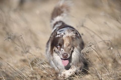 Beautiful Australian Shepherd in dry grass Royalty Free Stock Image