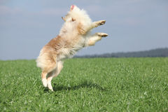 Beautiful australian shepherd jumping in nature Stock Image