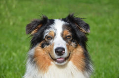 Beautiful Australian Shepherd Royalty Free Stock Photography
