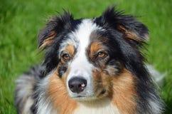 Beautiful Australian Shepherd Royalty Free Stock Photos