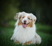 Beautiful australian shepherd Stock Image