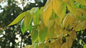 Beautiful autum leaves, green and yellow with sun stock video footage