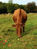 A cow eating apples. On a beautiful autumn afternoon, this cow is eating apples that someone has brought her. She was grazing and eating the apples. Photo taken stock photography