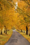 Beautiful autumn alley and road. Golden autumn alley with an asphalt road after rain Royalty Free Stock Images