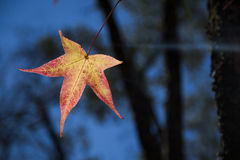 A beautiful autumn background with falling leaves. Royalty Free Stock Photography
