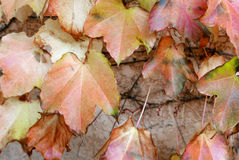 A beautiful autumn background with leaves. Royalty Free Stock Images
