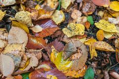 Beautiful autumn background. The leaves are yellow old on earth in autumn day. Multicolored wet leaves after a rain Royalty Free Stock Photo