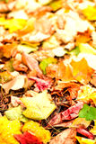 Beautiful autumn background with maple leaves close up. Colorful Stock Photos