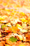 Beautiful autumn background with maple leaves close up. Colorful Royalty Free Stock Photography