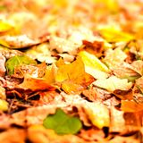 Beautiful autumn background with maple leaves close up. Colorful Royalty Free Stock Image
